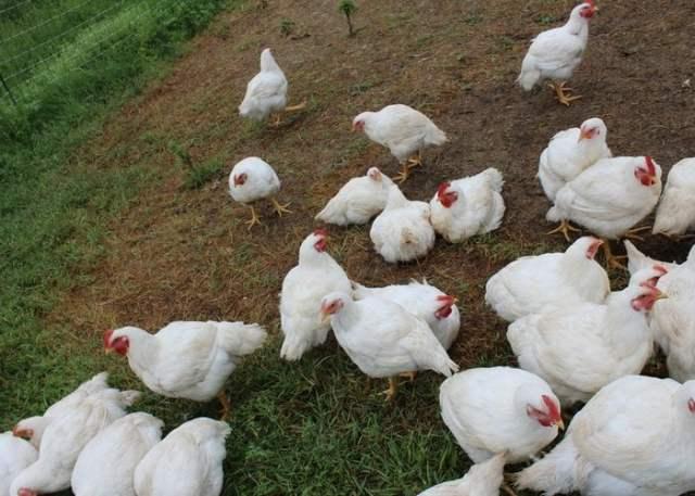 Cornish Cross Chicken
