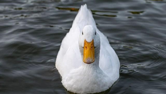 Heritage Duck Breeds