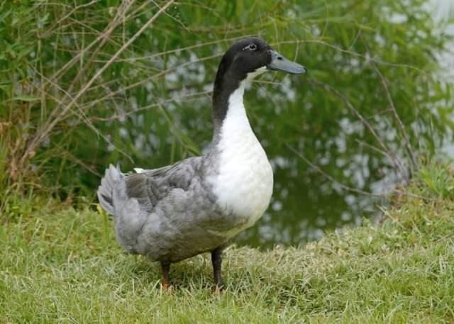Blue Swedish biggest duck breed
