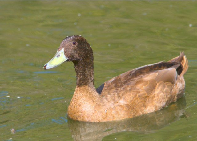 Heritage duck breed Khaki Campbell