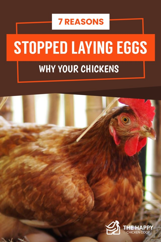 Chickens Stopped Laying Eggs