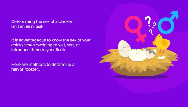How to Sex Chickens