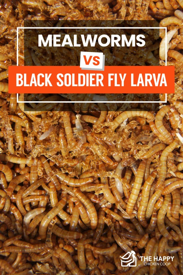 Mealworms vs Black Soldier Fly