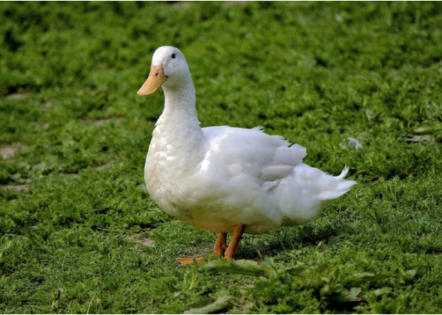 domesticated duck breed Aylesbury
