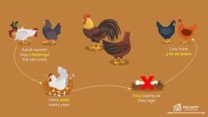Cycle de vie du poulet