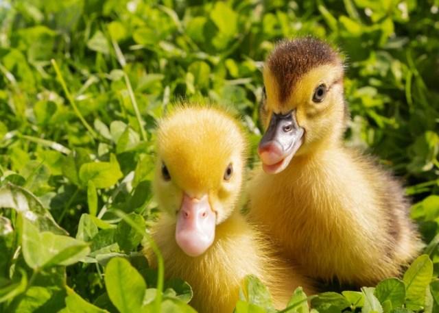 show ducks ducklings