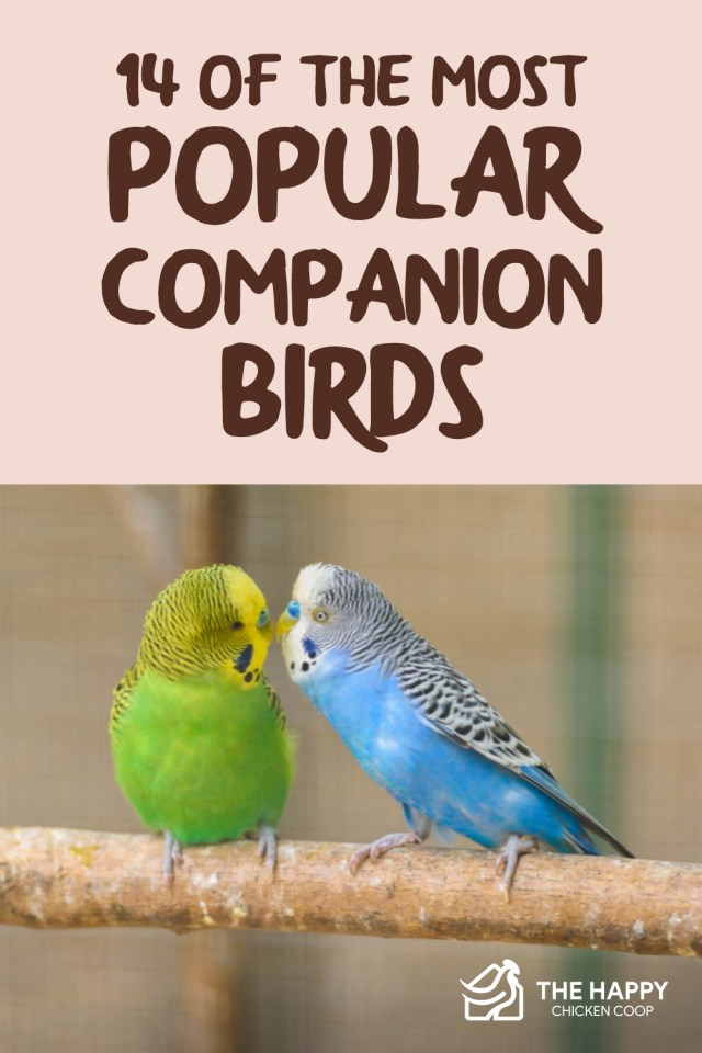Popular Companion Birds