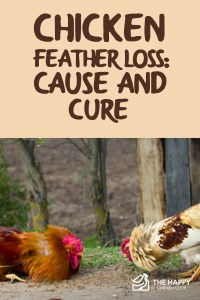 Chicken Feather Loss- Cause and Cure