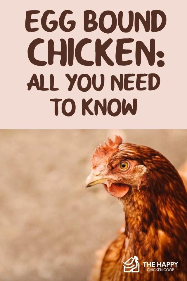Egg Bound Chicken