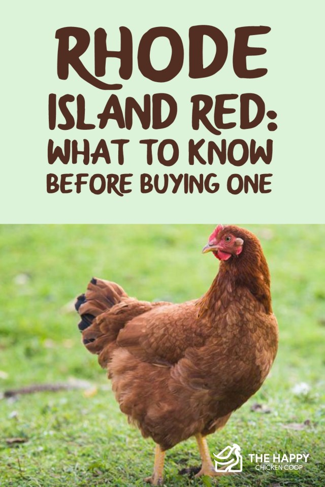 Rhode Island Red- What to Know Before Buying One