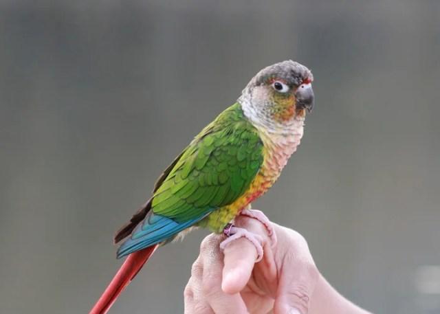 Friendliest Pet Birds Green-Cheeked Conure