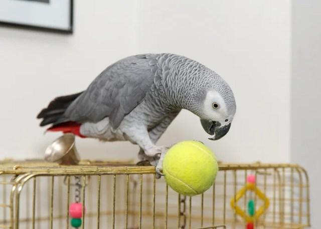 African Grey pet bird