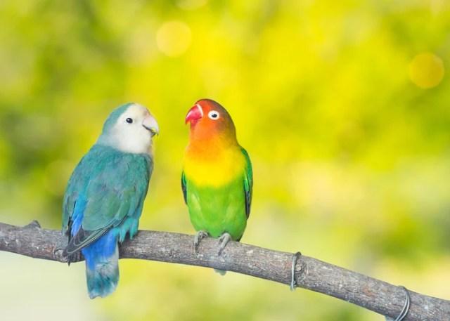 Lovebird Companion Bird