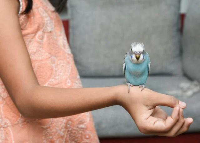 Friendliest Pet Birds Budgerigar