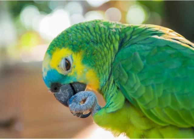 low-maintenance birds Amazon Parrot