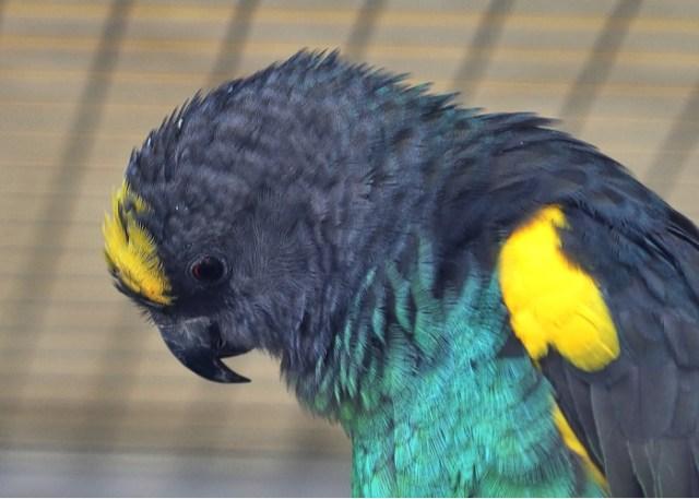 pet birds and children Meyer's Parrot