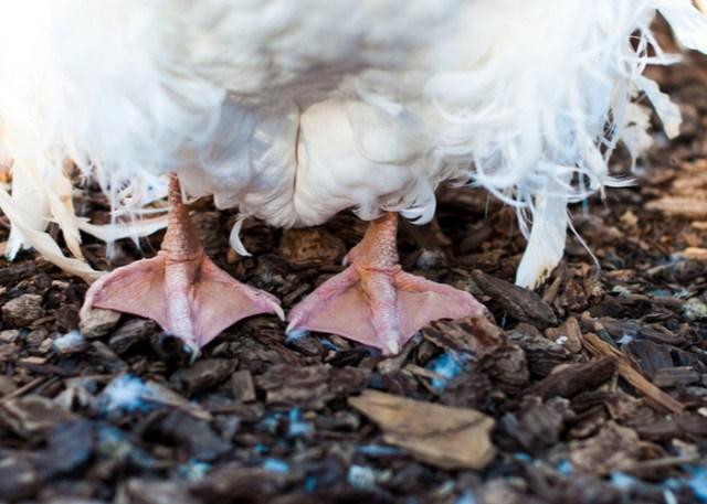 Sebastopol Goose