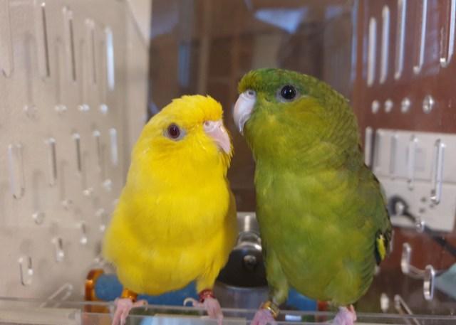 Lineolated Parakeet low-maintenance birds