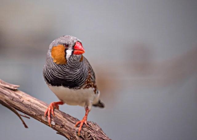 Quiet Pet Bird Finch