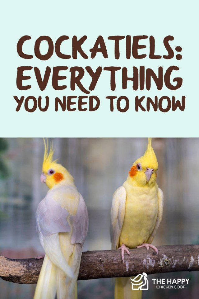 Cockatiels-Everything You Need To Know