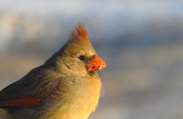 female cardinal in the spring