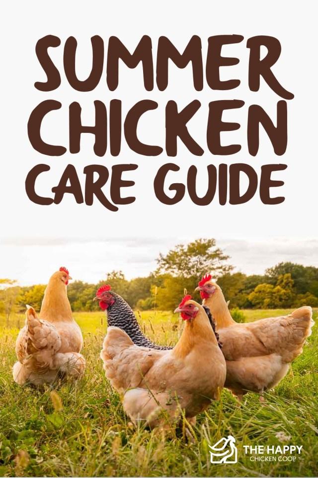 summer chicken care guide