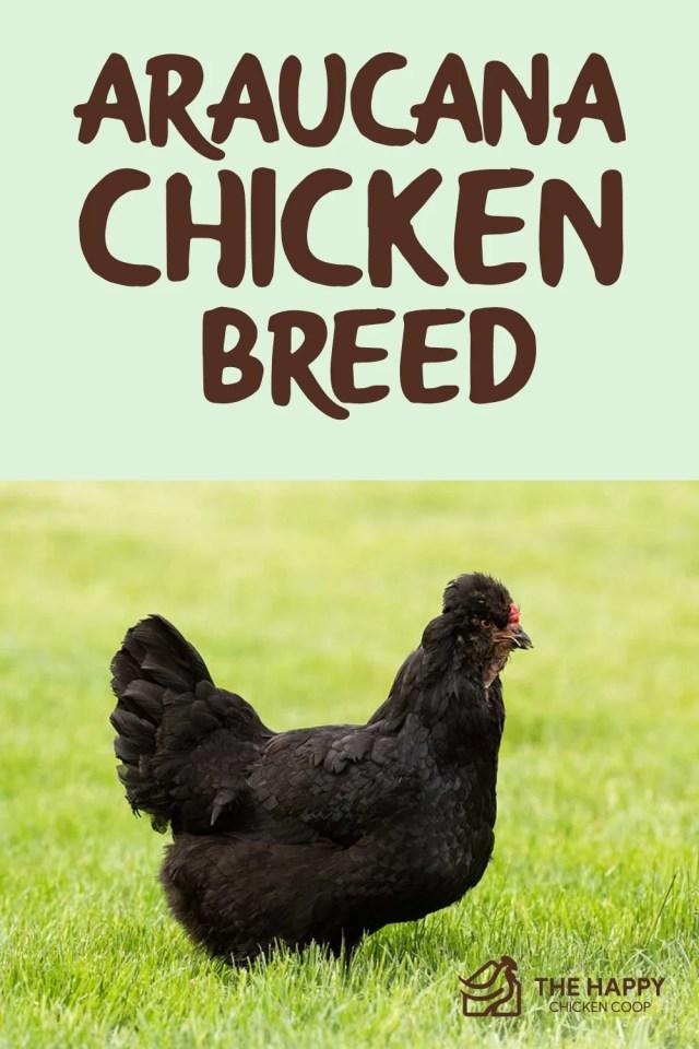 Araucana chicken breed