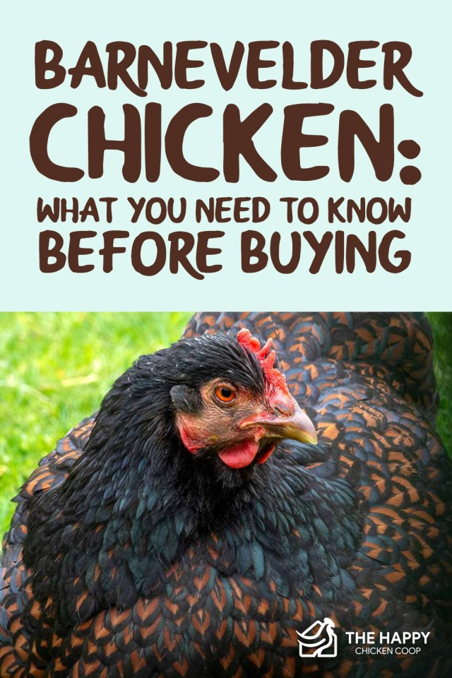 Barnevelder Chicken What You Need To Know Before Buying