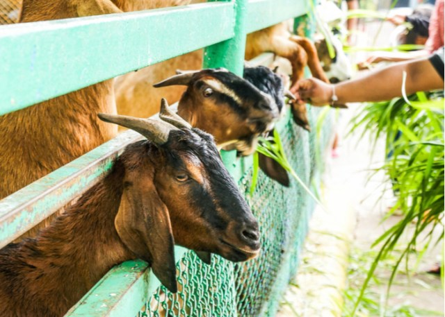 What to Look For in a Goat Feed