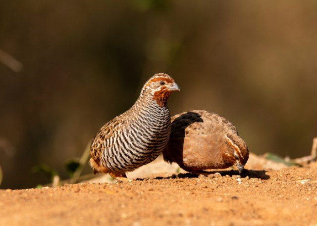 Quails Usually Feed On