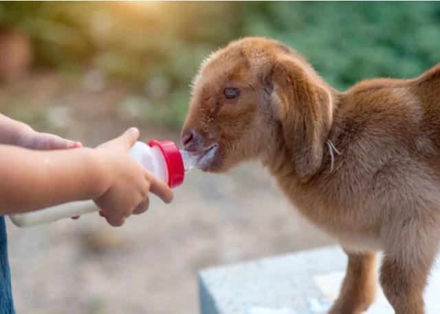 Abomasal Goat Bloat