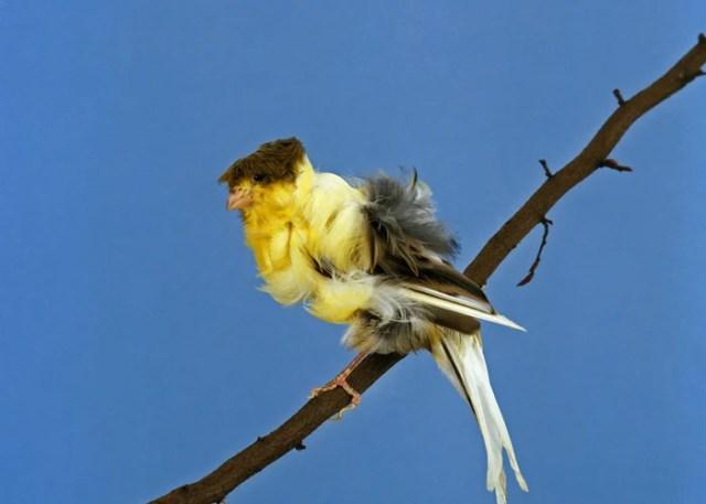 Parisian Frill Canary