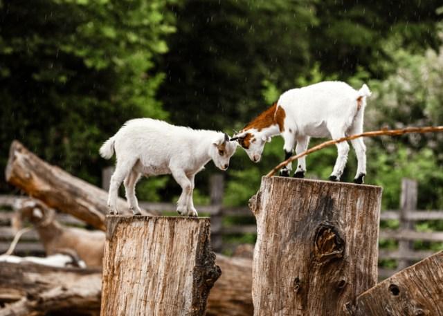 Goats headbutting