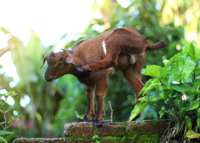 Boredom buster for goats- scratching posts