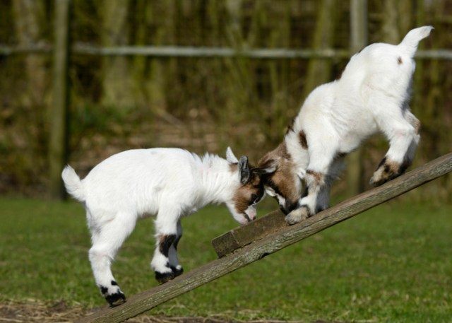 Boredom buster for goats- seesaw