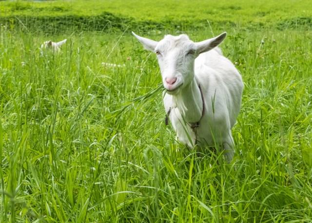 Frothy Goat Bloat