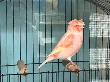 stafford canary