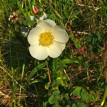Burnet Rose (Rosa pimpinellifolia)