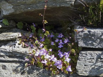 Ivy-leaved toadflax
