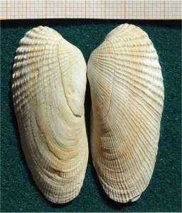 The American piddock, Petricolaria pholadiformis, courtesy G U Tolkiehn via Wikimedia
