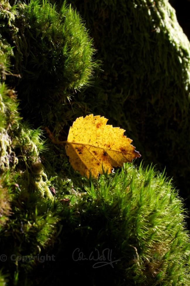 Sunlit birch leaf