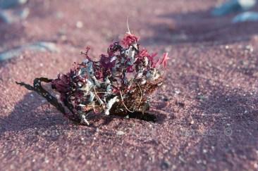 Garnet sand, with dried seaweed
