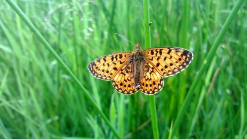 Small Pearl-bordered Fritilary