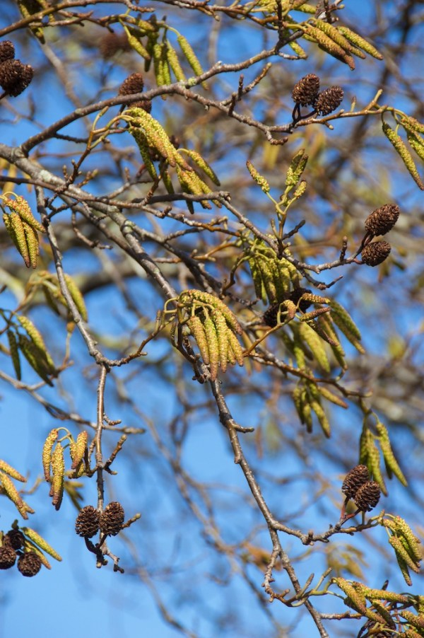 Old female cones (brown); younger female cones (upright, greenish) and male catkins (greenish yellow)