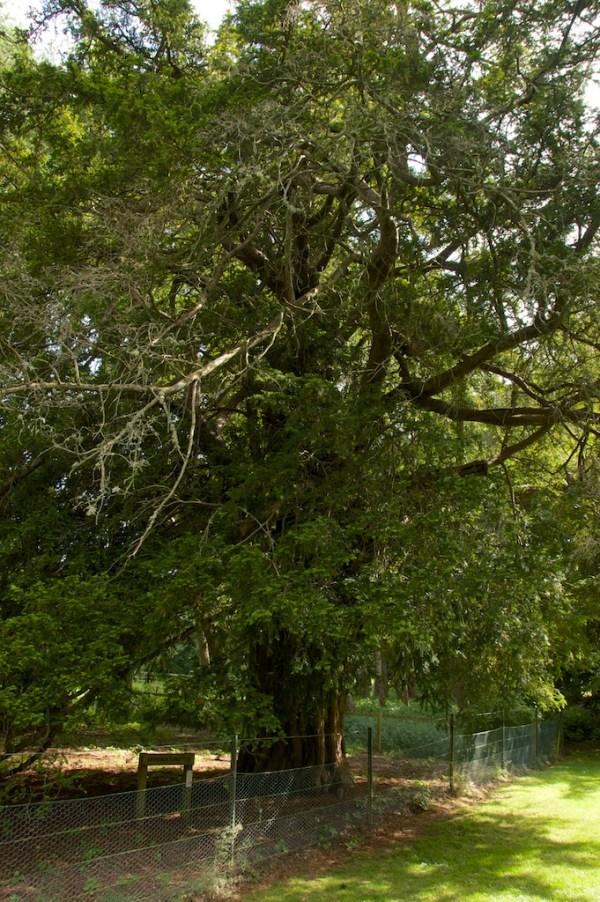 Dryburgh yew (13)