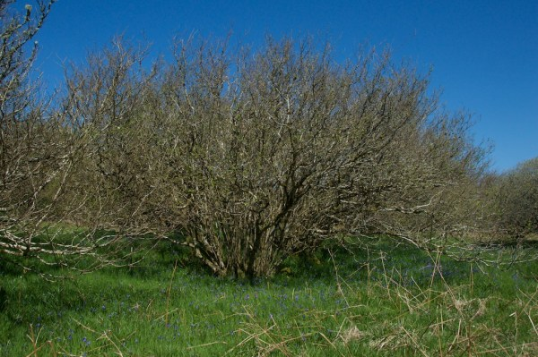 Hazel tree Ballachuan JW 2
