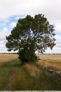 Ash tree near Athelstaneford