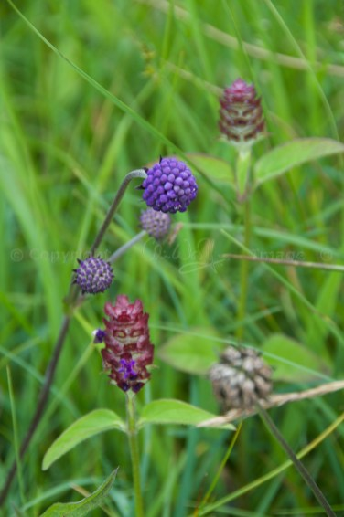 Buds, with self-heal (Glen Etive)