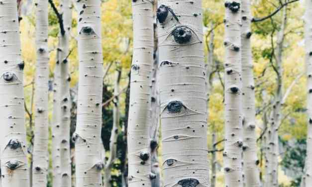 Birch Sap: Health Benefits & How You Can Use It