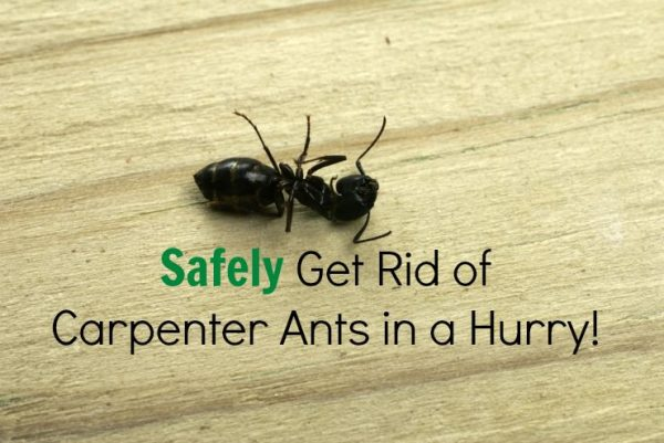 Safely Get Rid of Carpenter Ants in a Snap | The Healthy ...
